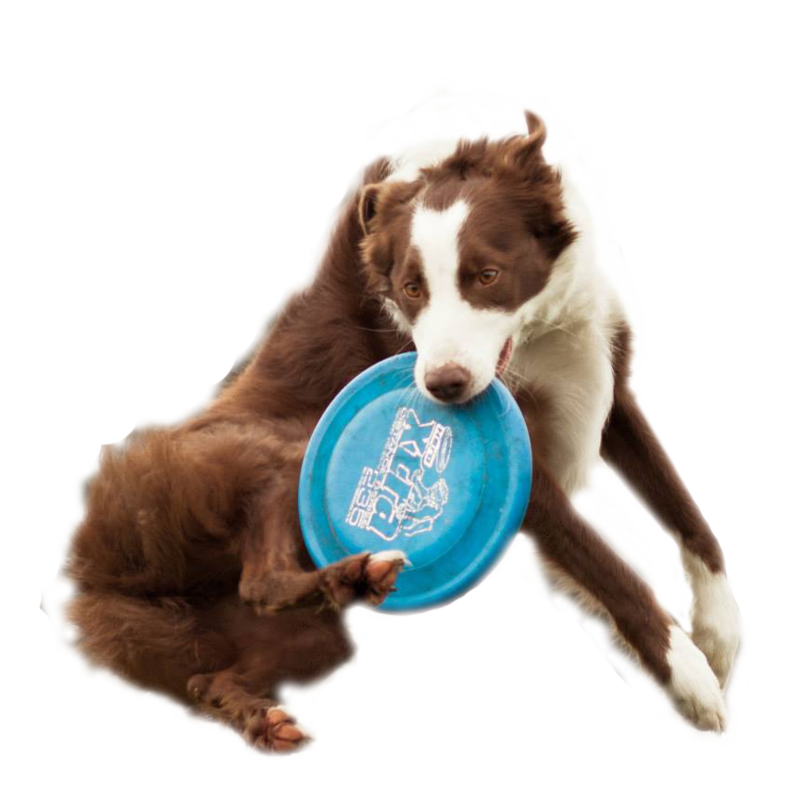 How To Train Your Dog To Play Frisbee